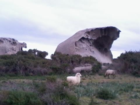 Moutons effrontés